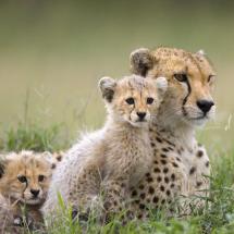 cheetah_512