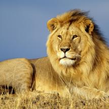lion_512