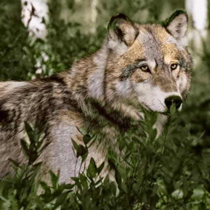 wolf_512_cheetah_512